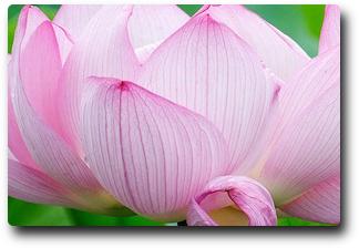 Meditation Lotus Flower Meditation